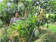 Canh tác lạ: Trồng 3 tầng cây trong 1 vườn, thu nhập tăng lên gấp đôi