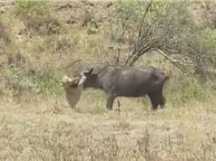 Clip: Trâu rừng bỏ mạng vì cả gan chiến đấu với sư tử