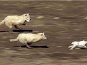 """Clip: Thỏ trắng """"đánh võng"""" tuyệt đỉnh khiến 2 con sói mất ăn"""
