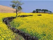 Vẻ rực rỡ của những cánh đồng cải đẹp nhất thế giới