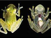 Phát hiện loài ếch thủy tinh có cơ thể trong suốt