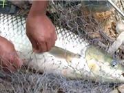 Clip: Câu cá trắm hơn 10 kg tại Yên Bái
