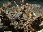 Nọc độc có thể gây tử vong của cá mặt quỷ
