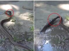 Clip: Rắn chết thảm vì bị cá cắn đầu gây ngạt thở