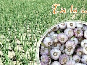 Tỏi Lý Sơn lọt vào Top 10 đặc sản quà tặng nổi tiếng Việt Nam