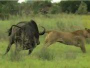 Clip: Trâu rừng liều mạng chiến đấu với sư tử để bảo vệ con