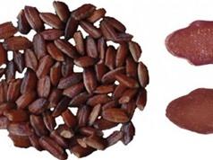 Lai tạo thành công gạo tím phục vụ việc chữa bệnh ung thư