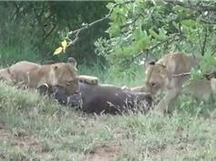 Clip: Màn vật lộn sinh tử giữa heo rừng với 2 con sư tử