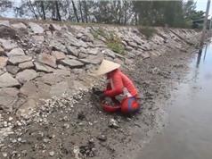 Clip: Người dân đem búa, đục đi bắt hàu ở Quảng Nam