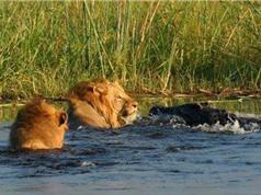 Clip: Sư tử đực suýt chết thảm trước hàm cá sấu