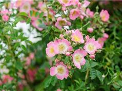 Hướng dẫn trồng tầm xuân vừa trang trí hàng rào vừa làm thuốc
