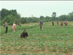 Hợp tác trồng cây dược liệu có hiệu quả kinh tế cao