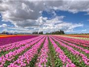 Loài hoa biểu tượng cho quốc gia đáng sống bậc nhất thế giới