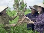 Người biến cây hoàn ngọc thành dược liệu hỗ trợ chống ung thư