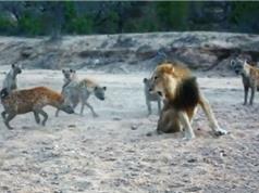 Clip: Tranh giành thức ăn, sư tử đực đối đầu 20 con linh cẩu