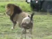 Clip: Linh dương đầu bò cả gan đối đầu sư tử đực