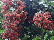Kỹ thuật trồng và chăm sóc cây chôm chôm cho quả sai trĩu