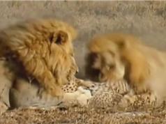 Clip: Báo săn chết thảm trước nanh vuốt 2 con sư tử đực