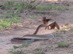 Clip: Chồn mangut liều mạng tấn công rắn mamba khổng lồ