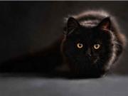 Vì sao mèo đen bị xem như điềm xui?