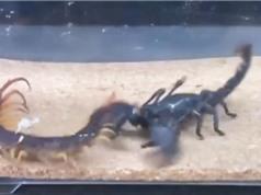 Clip: Màn ác chiến không khoan nhượng giữa bọ cạp với rết