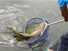 """Clip: Cần thủ câu được cá tra """"khủng"""""""