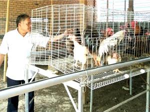 Đắk Lắk: Mô hình nuôi gà chọi lai hiệu quả của một thương binh