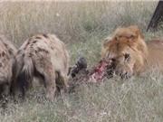 Clip: Khó tin trước cảnh sư tử chia sẻ mồi với linh cẩu