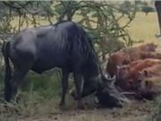 Clip: Linh dương đầu bò húc nhau, linh cẩu hưởng lợi
