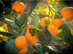 Quy trình trồng và chăm sóc cây hồng giòn cho năng suất cao
