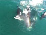 """Clip: Đàn cá voi sát thủ hợp sức """"đoạt mạng"""" cá voi khổng lồ"""