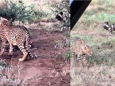 Clip: Bị đàn chó hoang tấn công, báo săn bỏ chạy thoát thân