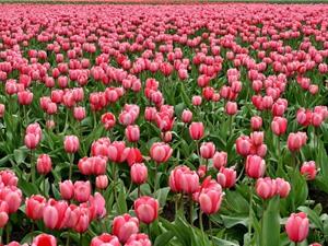 Chùm ảnh ấn tượng về những đóa hoa màu hồng