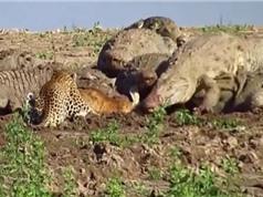 Clip: Báo liều mạng xông vào giữa bầy cá sấu để tranh ăn