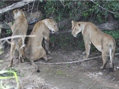 """Clip: Báo """"đơn thương độc mã"""" ác chiến với bầy sư tử"""