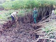 Kon Tum: Hiệu quả từ chuyển đổi đất trồng lúa sang trồng mì