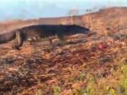 Clip: Cá sấu khổng lồ cướp mồi của chó hoang