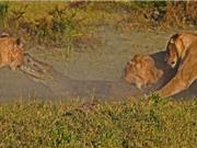 """Cá sấu chết thảm vì bị sư tử """"đánh hội đồng"""""""