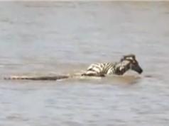 Clip: Ngựa vằn non nỗ lực giành sự sống trước hàm cá sấu