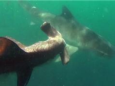 "Clip: Cá mập đầu búa ""chết oan"" trước cá mập hổ"