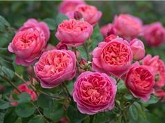 Chiêm ngưỡng vẻ đẹp của loài hoa thơm nhất thế giới