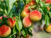 Hướng dẫn và chăm sóc cây đào ăn quả đúng kỹ thuật
