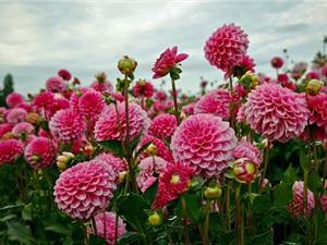 Ngắm nhìn loài hoa đẹp thứ 2 thế giới