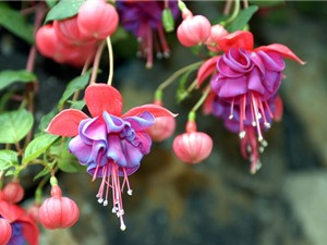 Vẻ đẹp mỹ miều của hoa bông tai công nương