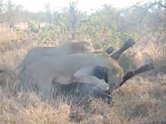 Clip: Cuộc chiến ác liệt giữa trâu rừng với 4 con sư tử