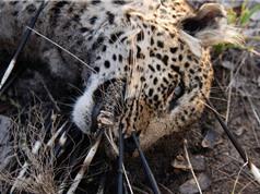 Báo đốm chết thảm vì cả gan giết nhím khổng lồ