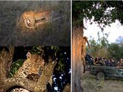 Clip: Báo kéo trăn khổng lồ lên cây để xé xác