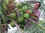 Tăng năng suất dừa sáp Cầu Kè bằng nuôi cấy phôi