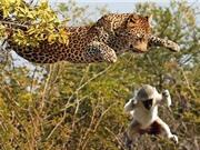 """Clip: Báo dùng """"khinh công"""" bay trên cây để giết khỉ"""