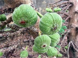 Các món ăn từ trái vả - đặc sản ẩm thực của cố đô Huế